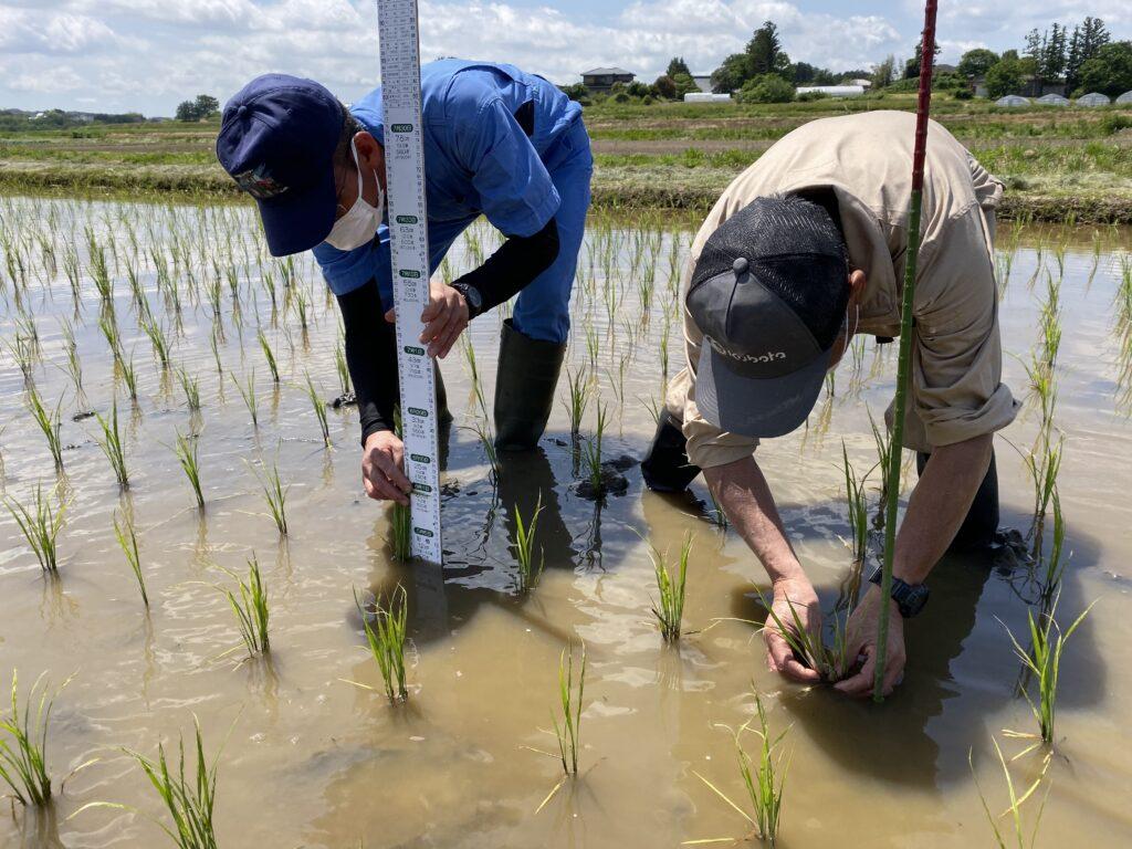 水稲の生育を確認する部会員
