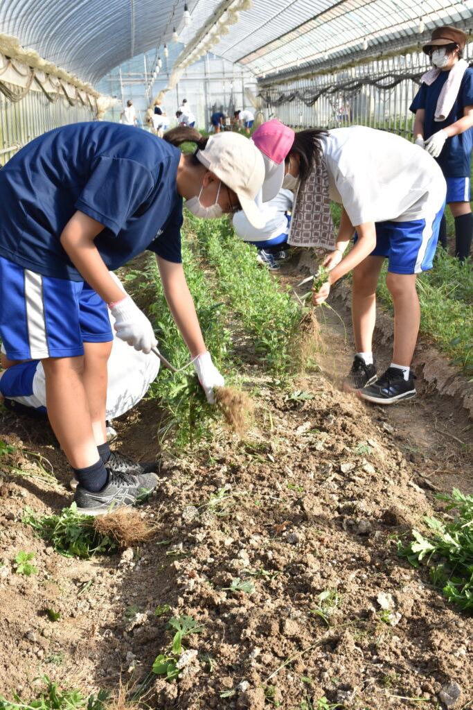 菊の残株を取り除く作業をする生徒ら